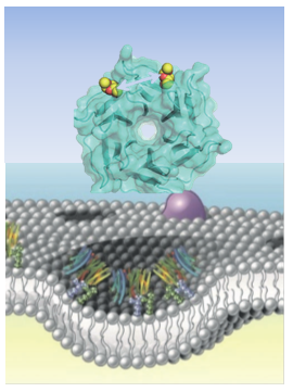 Membrane Invagination of Neolectines
