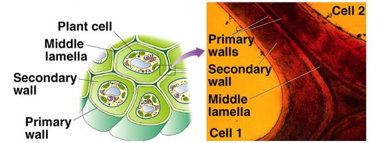 Glycopedia copyright cytoskeleton cell walls ecm httpexplorebiology ccuart Image collections